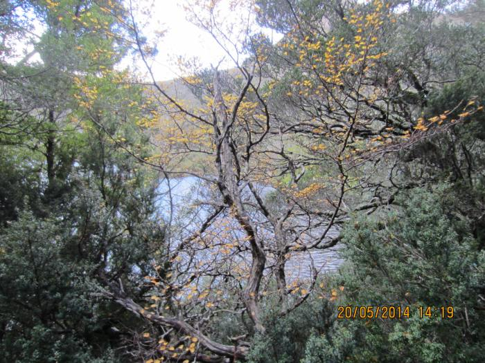 This yellow-leave tree, known as Fagus, can only be found in Tasmania. It is Australia's only cold climate winter-deciduous tree.