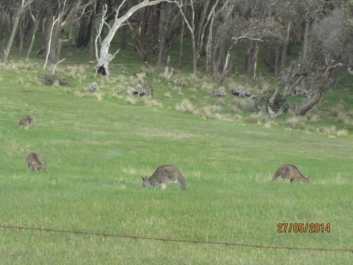 Wild kangaroos feeding on the grass