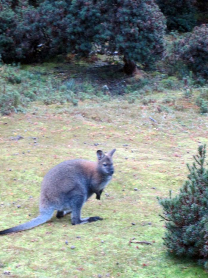 Agile Wallaby springing about