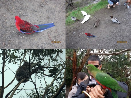 Koala & colourful local birds spotted by the Kennett River