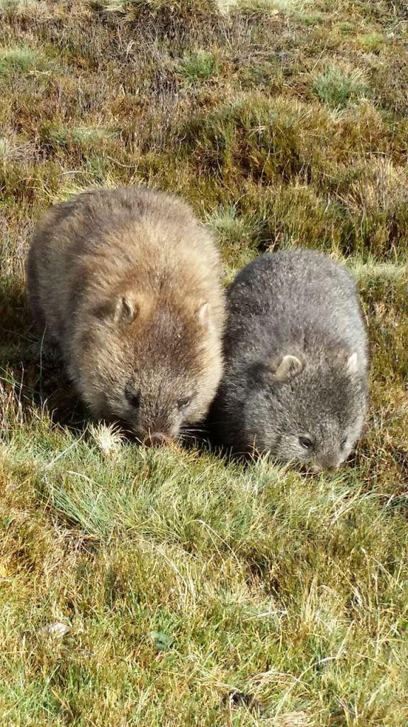 Cute & chubby mum & kiddo wombats :)