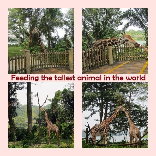 Feeding Giraffe Time
