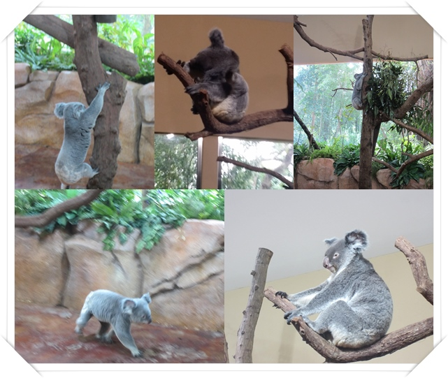 Spot the Koala climbing tree, walking about & eating ;)