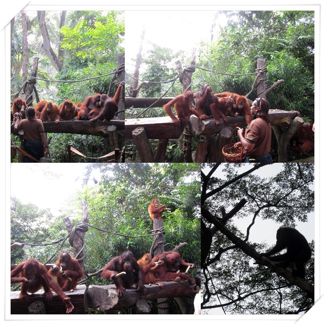 Feeding the orangutans with rambutans & sugarcane so that they'd stay there for photo-taking