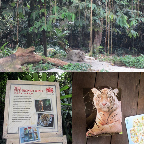 The 1st clue of the race led us to the King of the Asian Jungle! See a pic of our completed Tiger puzzle in about 5min :P
