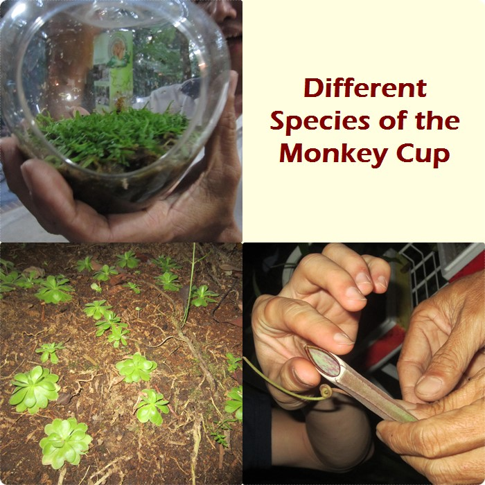 Monkey Cup species