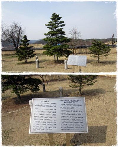 The indigenous Korean Fir planted by Queen Elizabeth in the village in 1999