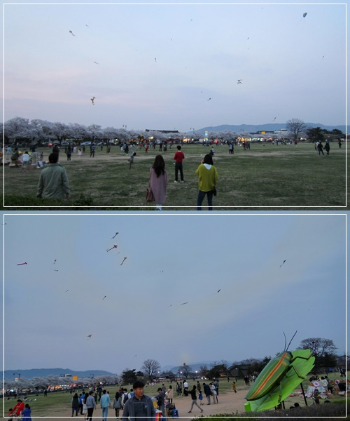 Beautiful kites flying high in the spacious national park lined with lovely cherry blossom trees