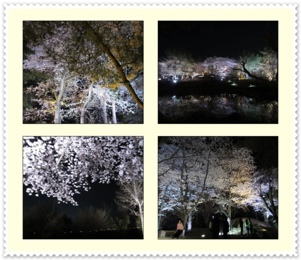 Breathtaking sight of numerous cherry trees blooming at the site