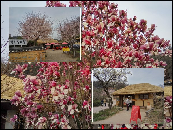 Bright & cheery cherry blossom trees outside the village restaurants