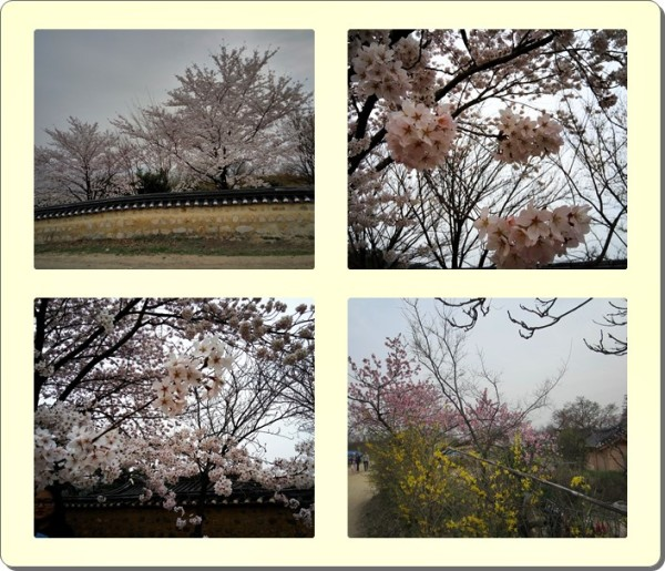 More lovely cherry blossoms uphill!