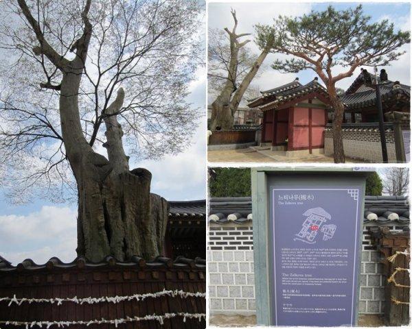 The old Zelkova tree