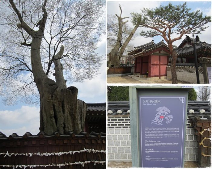 The old Zelkova tree