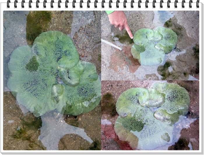 Haddon's carpet anemone - these green oral disks swallow various animals like fish & crabs